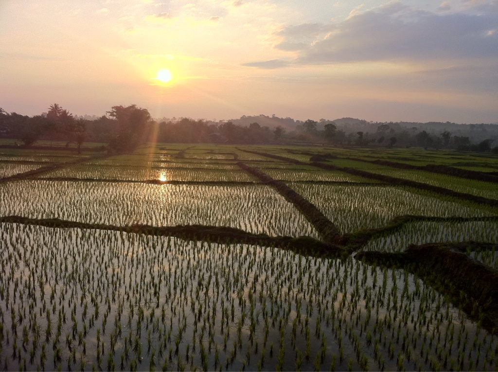 Paddy fields at 7 this morning: